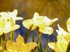 night-daffodils1