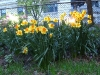 daffodilsright