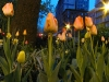 tulips310