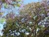 Jacaranda Tree, Glendale, CA