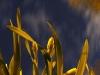 night-daffodils3