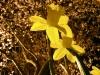 night-daffodils5